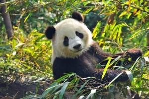 CN_Panda_020