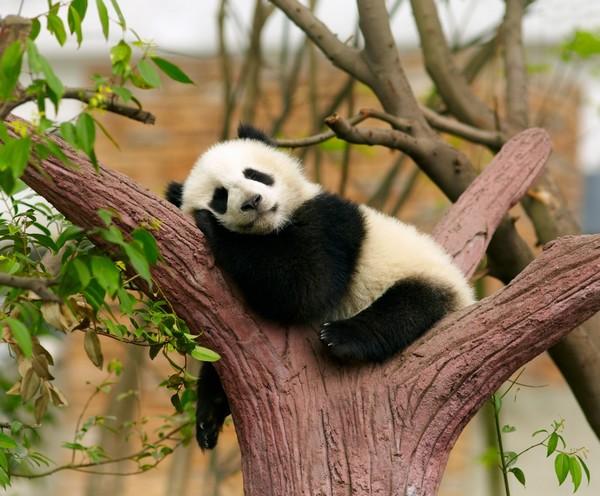 Centro di ricerca e riproduzione dei panda giganti